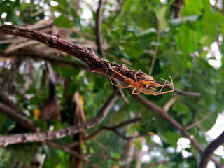 Huntsman Spider on a tree in Rarotonga Cook Islands