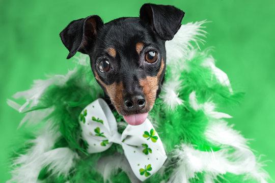 MinPin Dog St. Patricks Day
