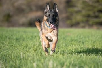 German Shepherd running in a field