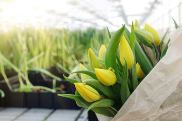 Plantation of tulips in the greenhouse . The flower farm.