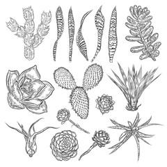 Wild cactus set. Hand drawn prickly cacti. Terrarium cactus collection. Wild floral exotic tropical. Vector.