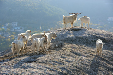 White goats on top of rock