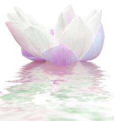 Foto auf Gartenposter Lotosblume lotus