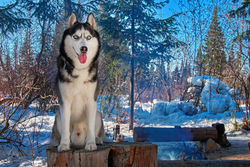 Portrait siberian husky sitting on stump in winter forest. Snow-covered forest landscape with dog on clear frosty sunny day with blue sky. For poster, calendar, magazine, advertisement.