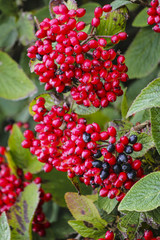 Close-up of bright red berries