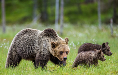 She-bear with cubs against the background of the forest. Summer. Finland.