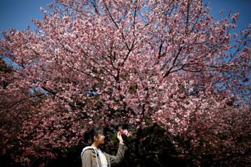 A visitor looks at early flowering Kanzakura cherry blossoms in full bloom at the Shinjuku Gyoen National Garden in Tokyo