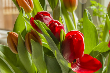 Red orange tulips - close-up