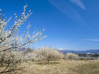 白梅と残雪の谷川岳
