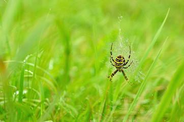 Wasp spider (Argiope bruennichi) on the web. Hunting spider close-up