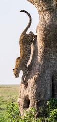 Leopard jumps from tree to earth. National Park. Kenya. Tanzania. Maasai Mara. Serengeti. An excellent illustration.