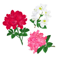 Branches pink red and white flowers rhododendron  mountain shrub on a white background set first vintage vector illustration editable hand draw