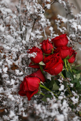 Beautiful bouquet of red roses on the snow