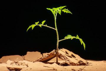Seedling desert. Desert plants. Tomatoes in the midst of the stones and cracks.