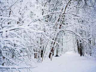 Picturesque picture of winter trees in woods