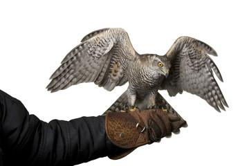 hawk isolated on white background Fototapete