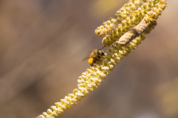 Bee collects pollen on Hazel plant,springtime