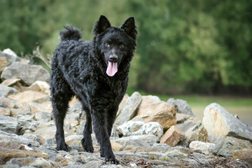 A black dog shepherd stands on rocks