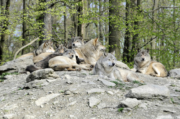 Timberwölfe (Canis lupus lycaon) , captive, Baden-Württemberg, Deutschland, Europa