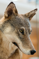 Grey and Brown Wolf - Portrait