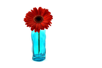 Red gerbera flower stock images. Red gerbera flower on a white background. Red gerbera in blue vase. Beautiful red gerbera daisy
