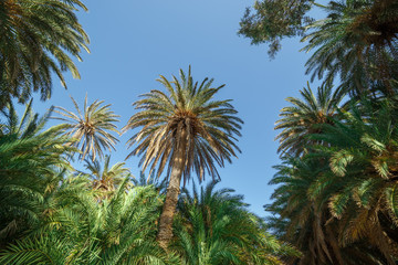Crowns of palm trees against the sky