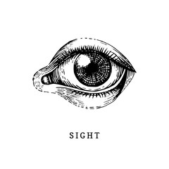 Hand drawn icon of human Sight sense in engraved style. Vector illustration of mans Eye