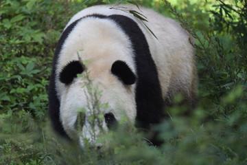 Giant Panda in bush