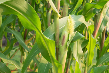 Close up of corn in the organic corn field.