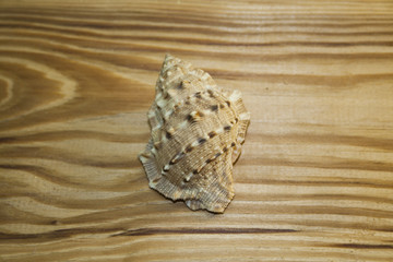 shell isolated on a wooden background