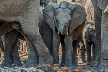 Elephnat family with a baby in the middle with his trunk up in Krugerpark in South Africa