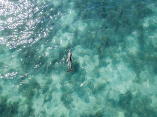 Aerial view of a dolphin swimming in the clear blue sea in Monkey Mia.