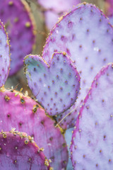 Tubac Purple Prickly Pear