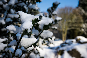 Snow topped Holly
