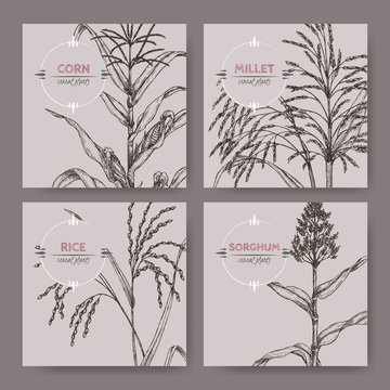 Set of four banners with Asian rice, Proso millet, corn and sorghum sketch.