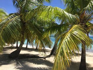 Palmen von Isla Saona in der dominikanischen Republik