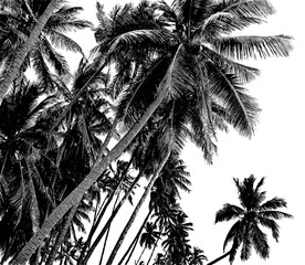 Tropical coconut palm trees isolated on white background. Tropical background. Black and white.