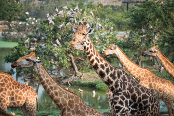 Giraffes group in the forest