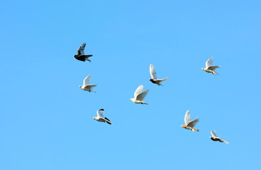 Many pigeons fly against the blue sky. Birds move in the wild. Horizontal image. Selective focus.