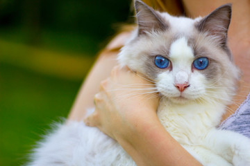 Ragdoll Cat Looking