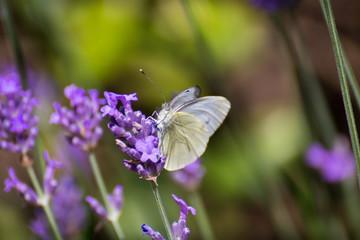 White Butterfly Standing On A  Purple Lavander