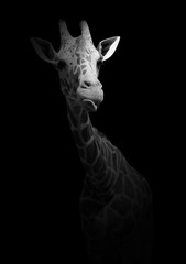Funny giraffe showing tongue. A wild animal isolated on a black background. Black and white photo with an African inhabitant.