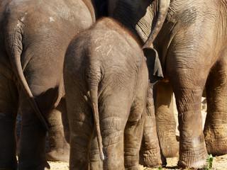 three elephants seen from behind