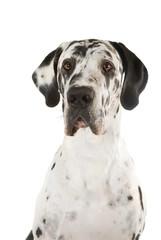 Deutsche Dogge isoliert auf weißem Grund