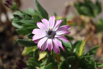 African Daisy Purple Flower