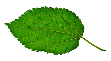 green leaves of mulberry, isolated. Alternative medicine. herbal medicine. (used to lower the sugar content in the blood)