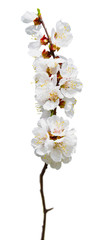 Flowering apricot. Isolated. Spring . Nature. Spring is blooming.