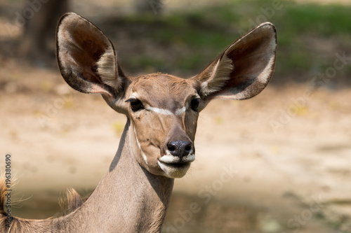 Close up of the Antelope  female