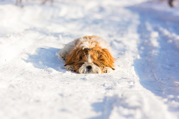 Portrait of a cute fluffy shih tzu puppy lying in the snow in the forest