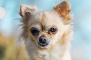 Portrait of adorable small chihuahua dog